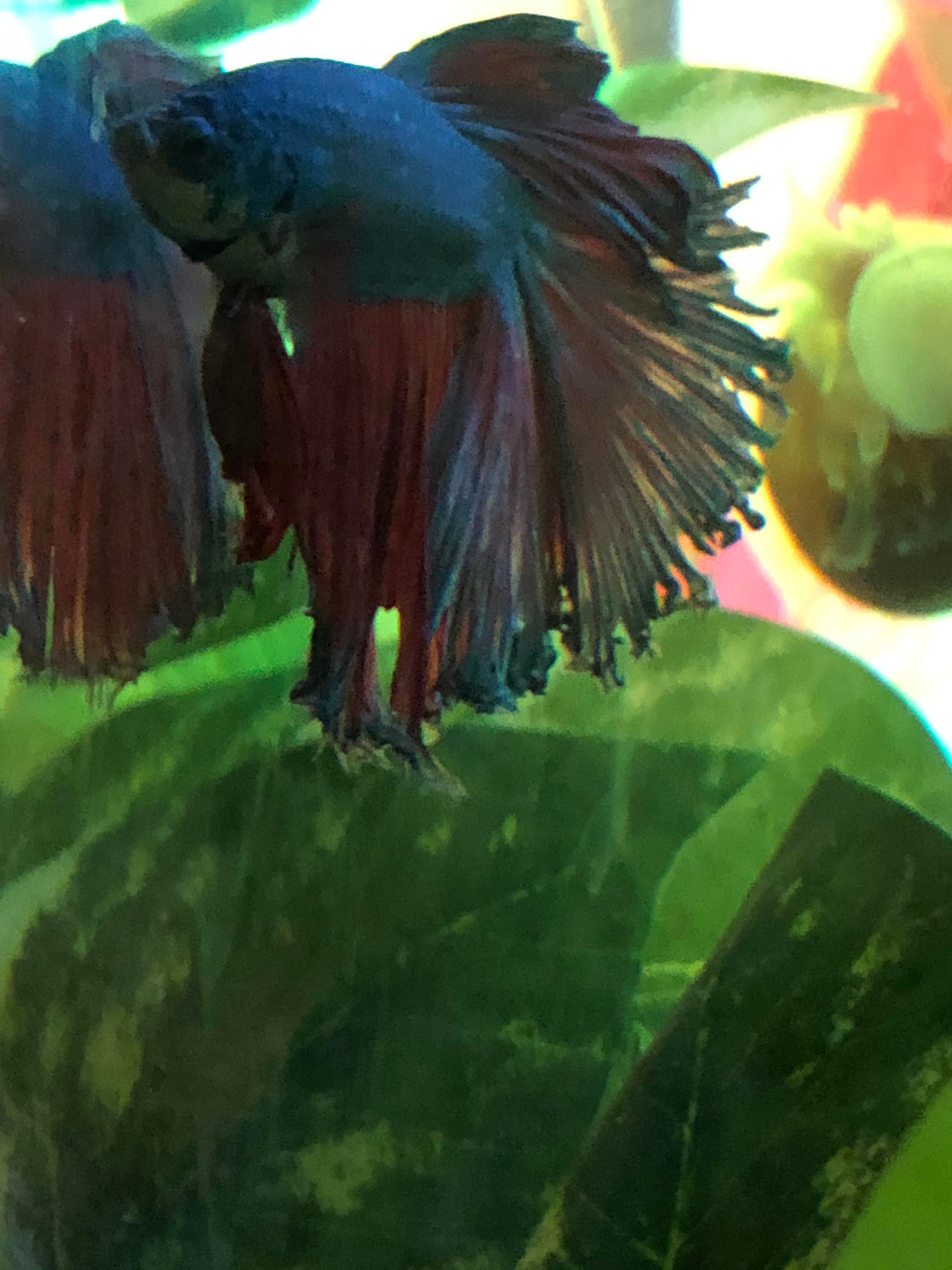 Betta Fish My Betta Has A Chunk Of Fin Missing And I Don T Know What To Do He Still Has Fin Rot And Isn T Getting Any Better His Betta Fish