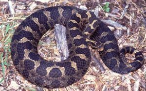 Eastern Massasauga Rattlesnake Pictures Reptiles Facts Rattlesnake Colorful Snakes