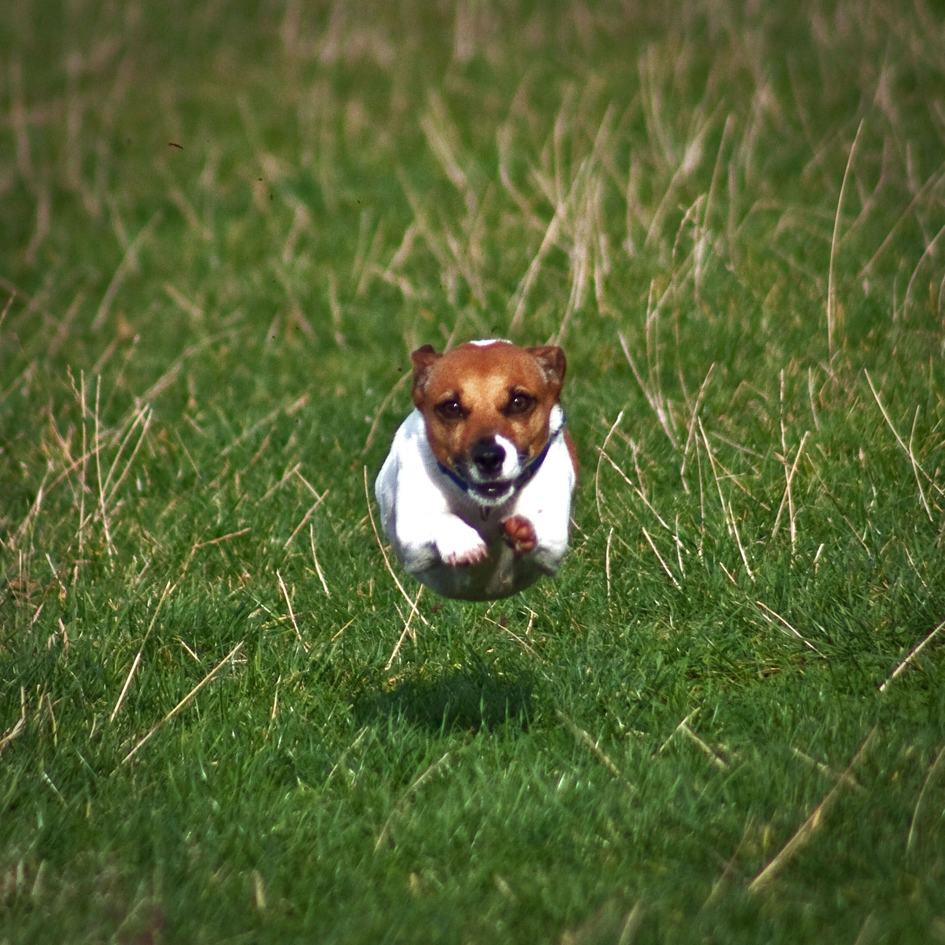 Jack Russell Terrier Flying Dog Jack Russell Jack Russell Puppies