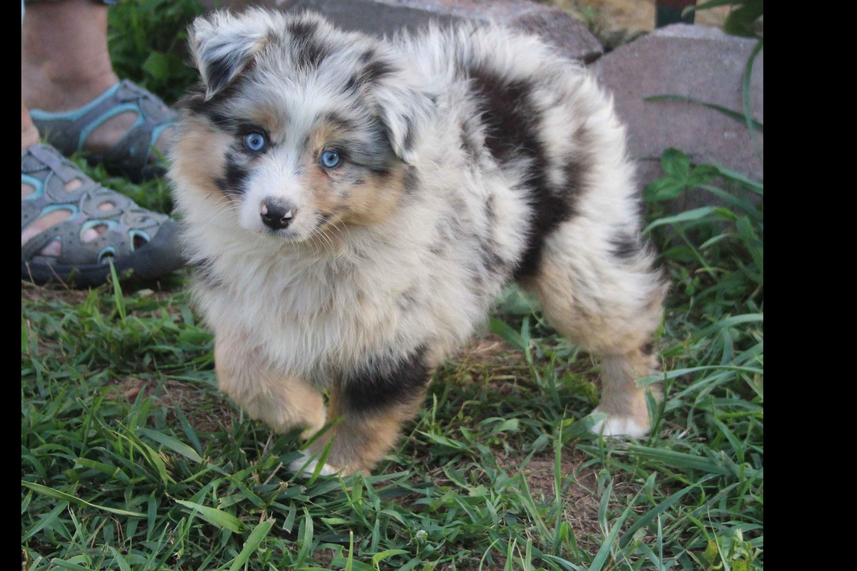 Dana Carr Has Miniature American Shepherd Puppies For Sale In Bolivar Mo On Akc Puppyfinder Miniature American Shepherd American Shepherd Shepherd Puppies