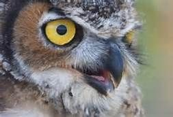 NATIONAL GEOGRAPHIC OWL PICTURES - Bing Images