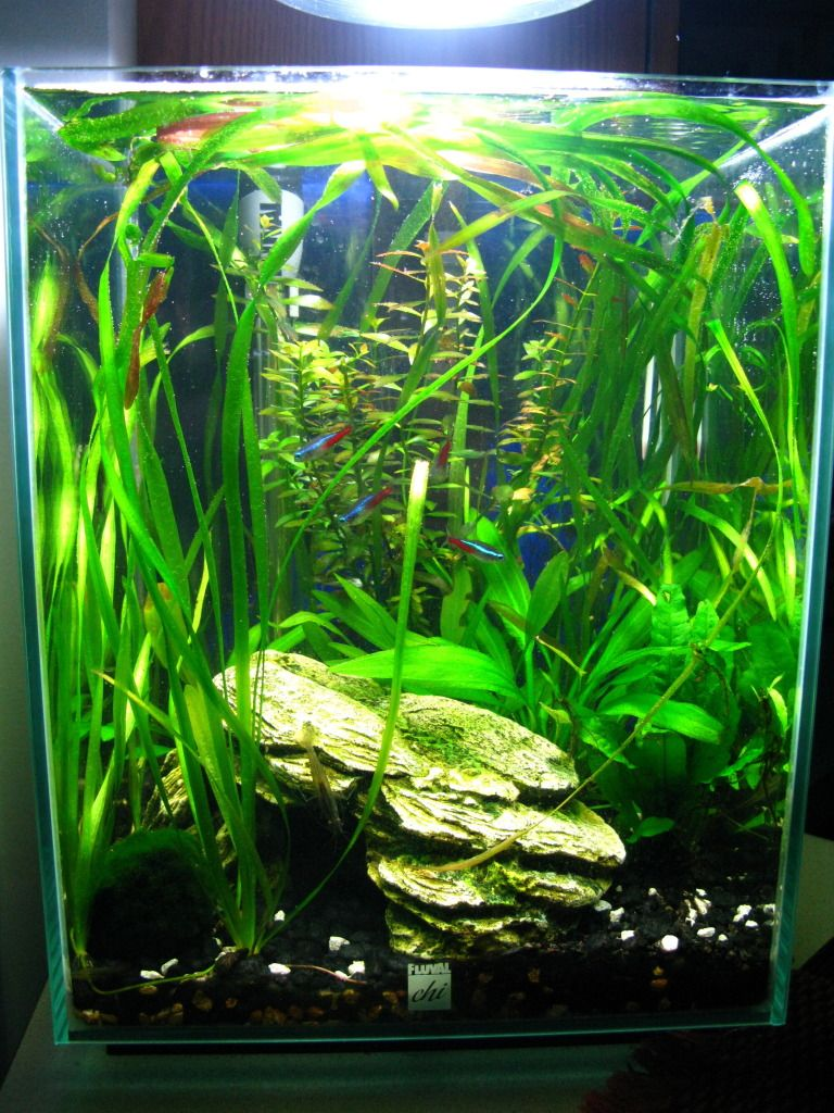 Attractive Showoff Your Fluval Chi!   The Planted Tank Forum