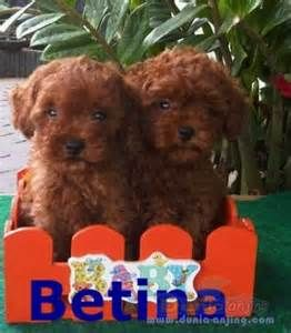 Red Toy Poodles Images Bing Images Poodle Toy Poodle Puppies