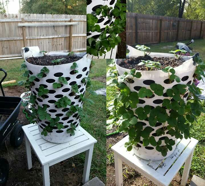 Growing Strawberries In A Planter: The Best Way To Grow Strawberries