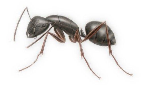 Carpenter Ant Ants Summer Pests Carpenter Ant
