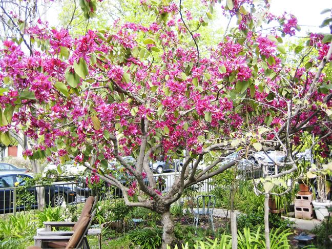 Hong Kong Orchid Tree Ignore The Yard Random