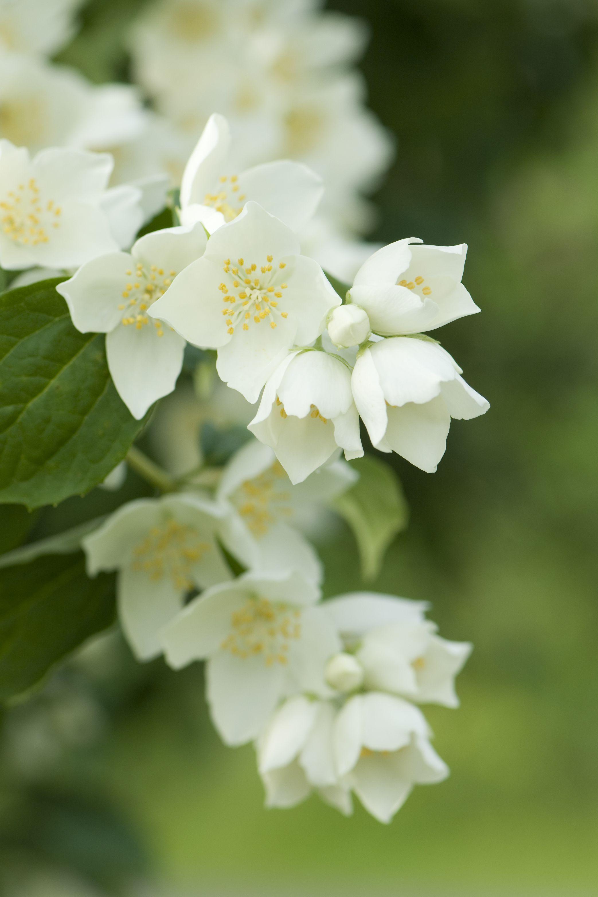 The Surprising Meanings Behind Your Favorite Flowers Jasmine Plant Flower Meanings Flowers