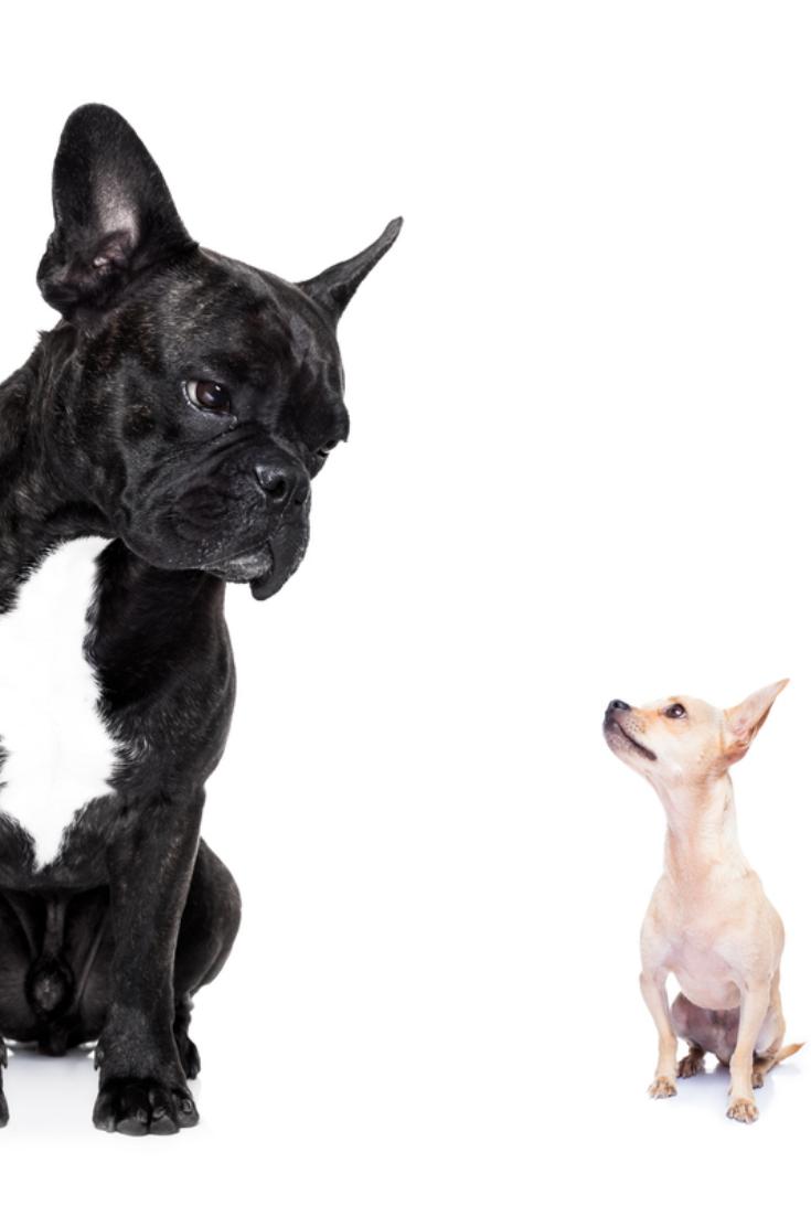 A Big French Bulldog And Small Tiny Chihuahua Dog Looking At Each