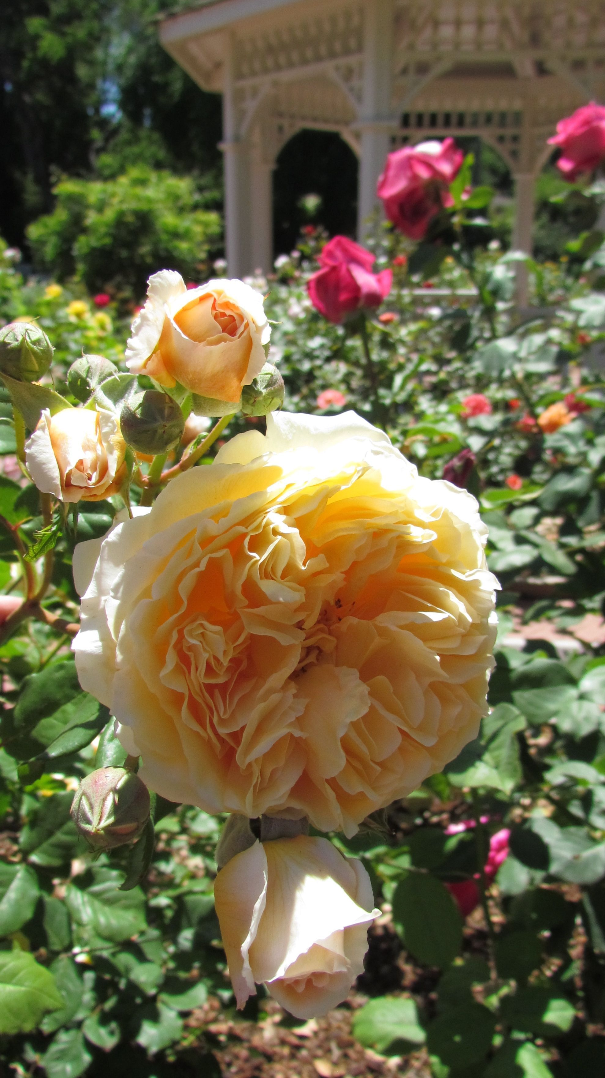 San Mateo Central Park Rose Garden. Princess Margareta. ~Photo by ...