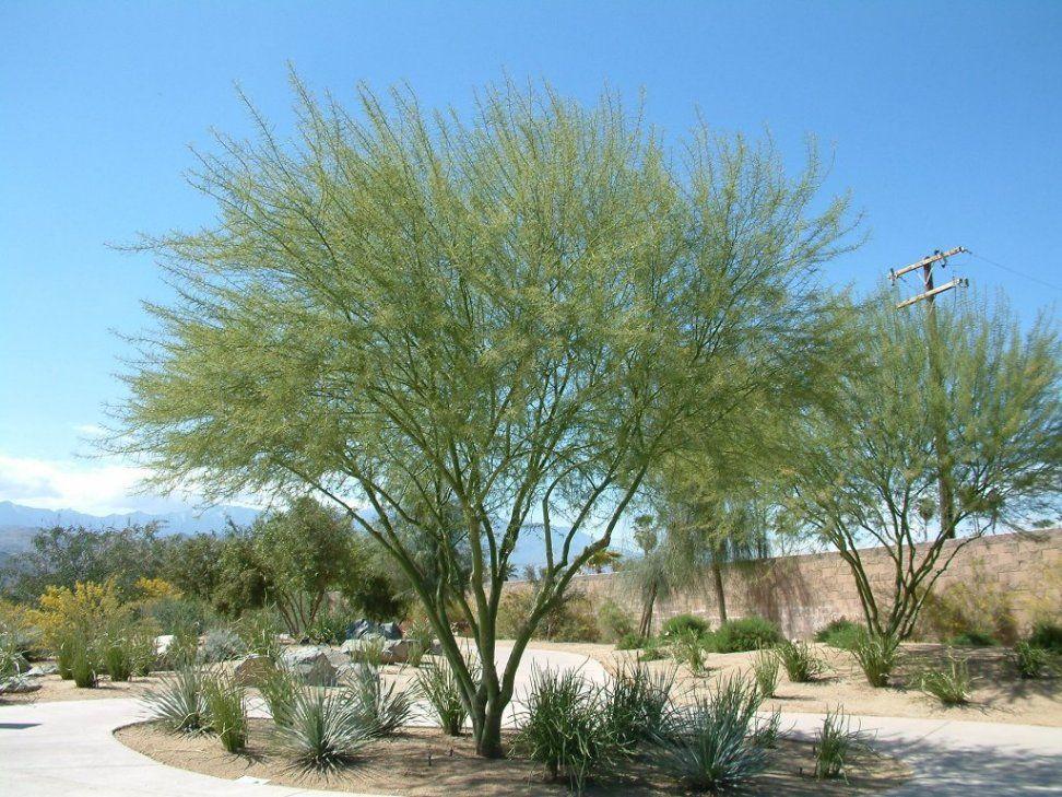 Desert Museum Palo Verde. Grows almost like a weed in Las Vegas ...