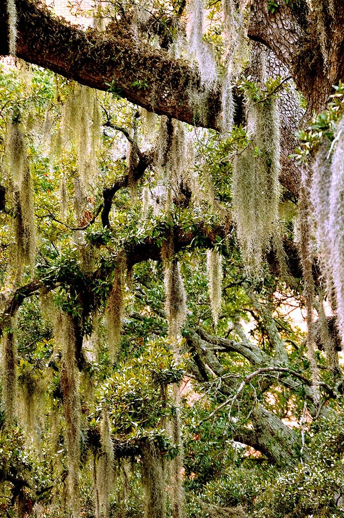 Spanish Moss. As the story goes; there was once a traveler who came with his Spanish fiancée in the 1700s to start a plantation near the city of Charleston SC. She was a beautiful bride-to-be with long flowing raven hair. As the couple was walking over the plantation sight[sic] near the forest, and making plans for their future, they were suddenly attacked by a band of Cherokee who were not happy to share the land of their forefathers with strangers. As a final warning to stay away from t