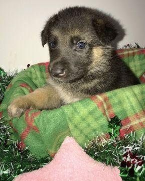 Litter Of 8 German Shepherd Dog Puppies For Sale In Roanoke Va