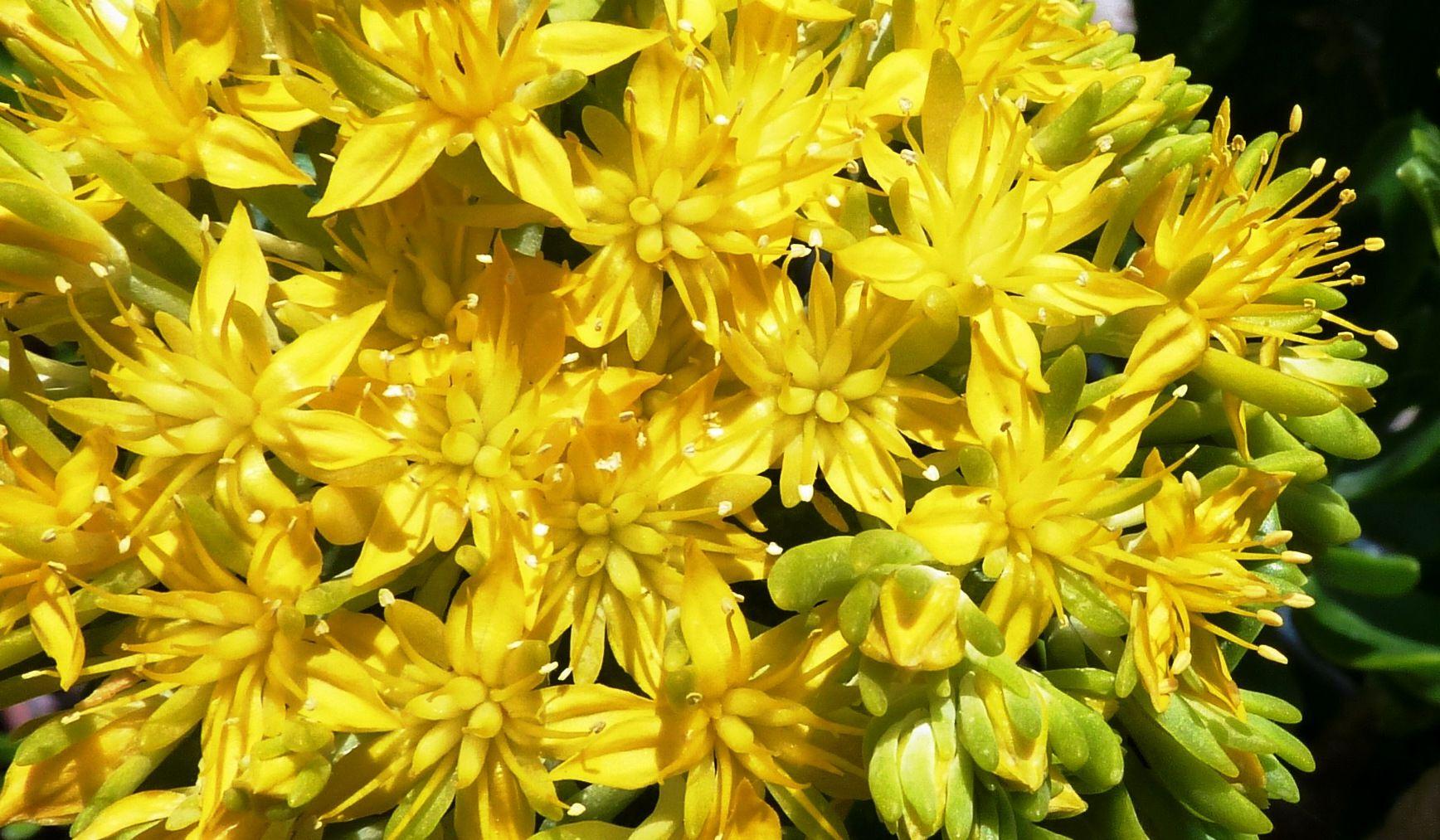 Sedum Torulosum Floraison Juin 2019 Plantes Grasses Plante