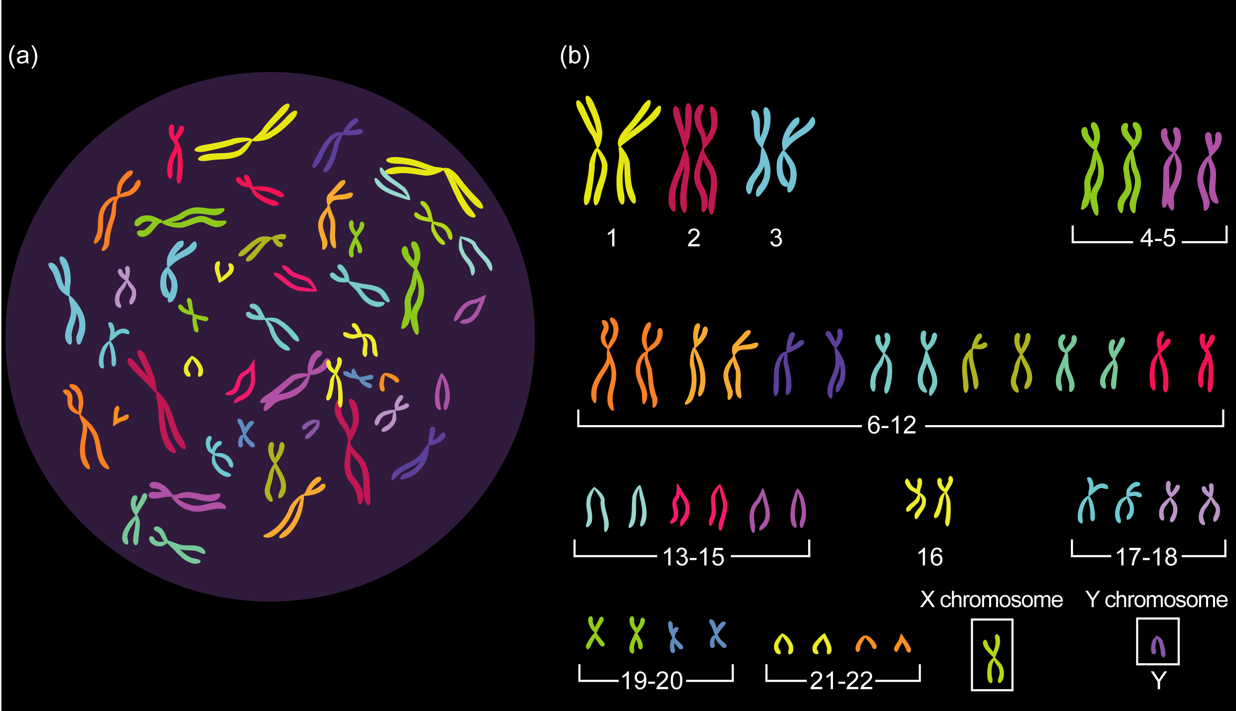 Chromosomes  All 46 Chromosomes In Humans Are Found -6267