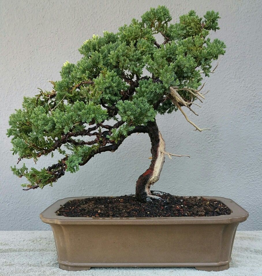 Picture 5 I Did A Little More Pruning And Created Shari On My Juniper Pre Bonsai Lime Sulfur Was Applied To The Jin And Shari 7 10 Pre Bonsai Bonsai Plants