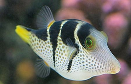 Papuan Toby Puffer And Saddle Puffer Marine Fish Saltwater Tank Aquarium Fish