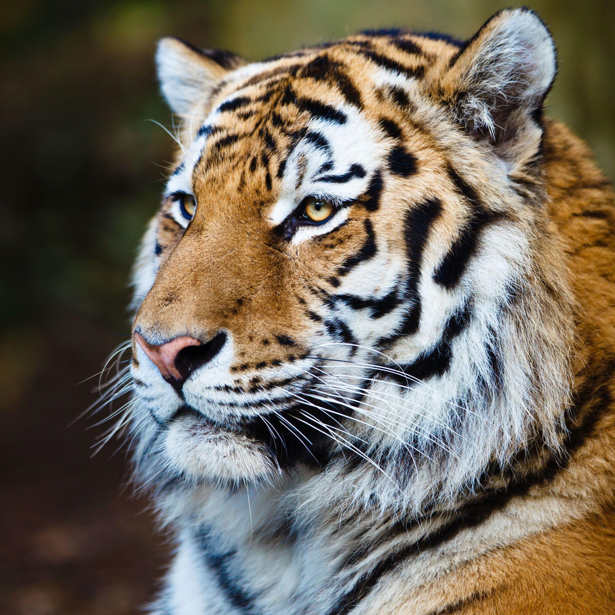 Proud Siberian Tiger Hd Ipad Wallpapers Sibirischer Tiger Tiere Und Vogel Raubtiere