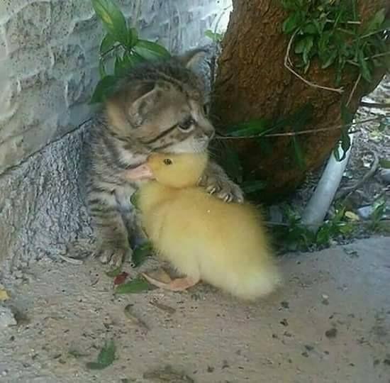 En petit chat protège un canneton...comme c'est mignon...