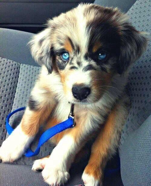 Australian Shepherd And Golden Retriever Mix Dog Breeds Bucket