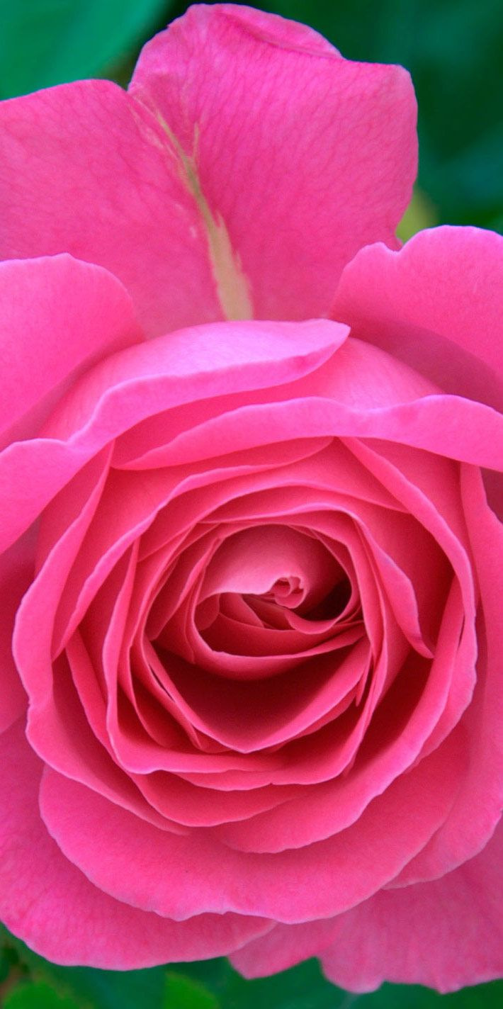 Pin By Chutikern Lor On Pink Pinterest Rose Flower