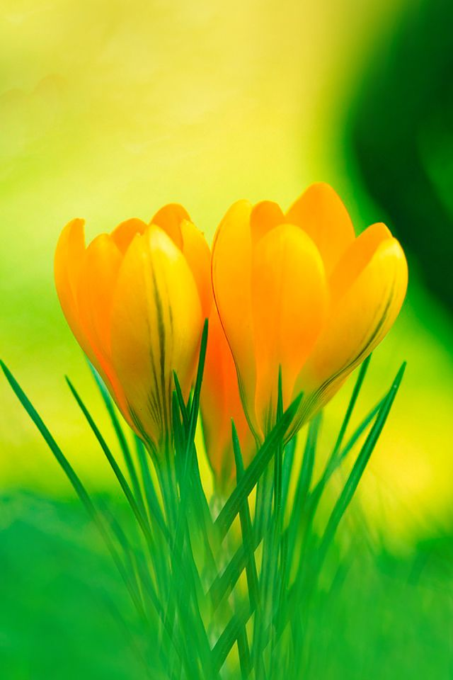 Yellow crocus flowers gardening pinterest yellow crocus yellow crocus flowers mightylinksfo