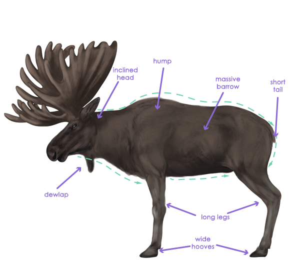 Moose Muscle Anatomy Google Search Moose Pinterest Muscle