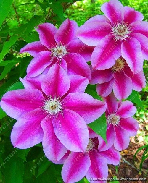 100pcsbag clematis seeds flower clematis vines bonsai flower seeds 100pcsbag clematis seeds flower clematis vines bonsai flower seeds perennial flowers climbing clematis plants for home garden mightylinksfo