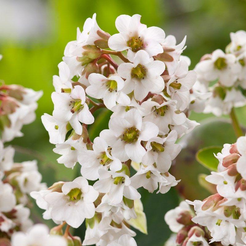 Bergenia Bressingham White Elephant S Ears Dobbies Garden Centres Cottage Garden Plants White Gardens Gravel Garden