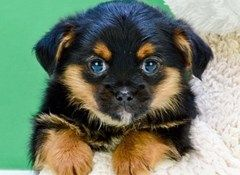Puppies for sale in Texas | Small breed pups for adoption in