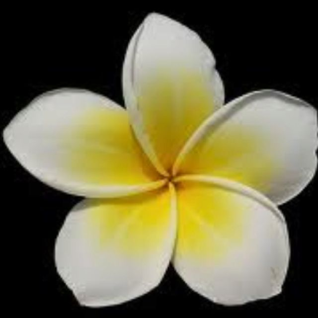 Jasmine Flower :) So Pretty, Love It. We Could Do