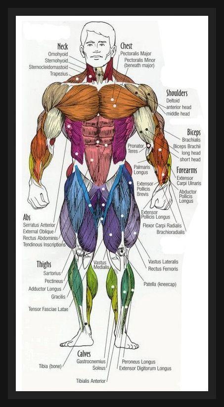 Human anatomy diagram buildingmuscleworldwide work human anatomy diagram buildingmuscleworldwide ccuart Gallery