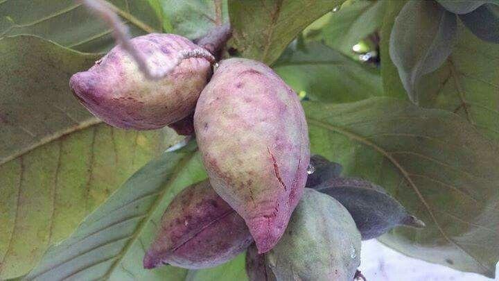 Almendra Is A Fruit My Country Almendras El Salvador