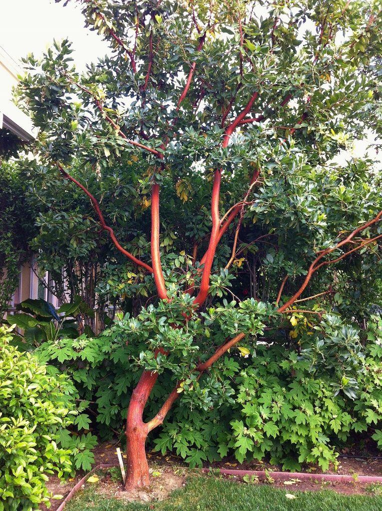 Marina Strawberry Tree Google Search Strawberry Tree Trees To Plant Native Garden