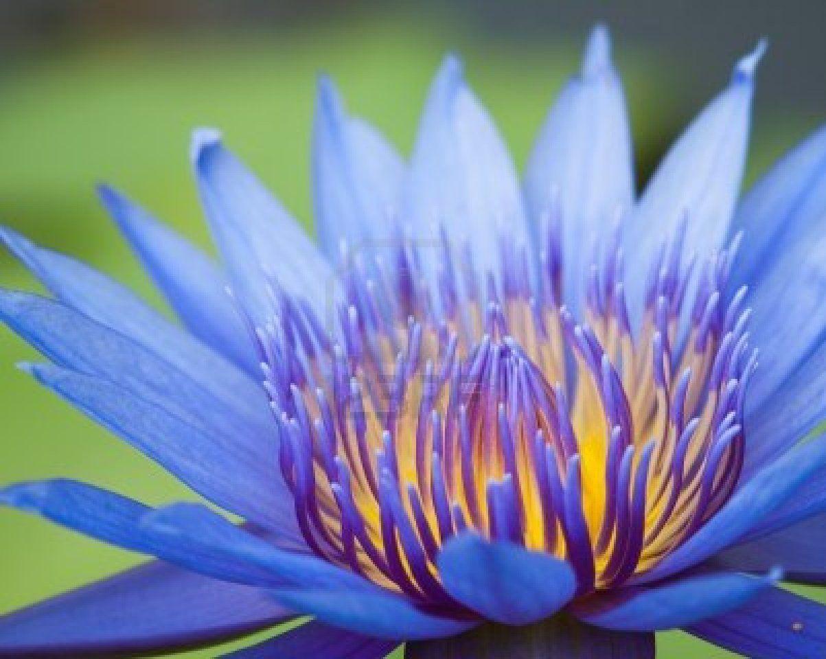 Purple waterlily - just beautiful!