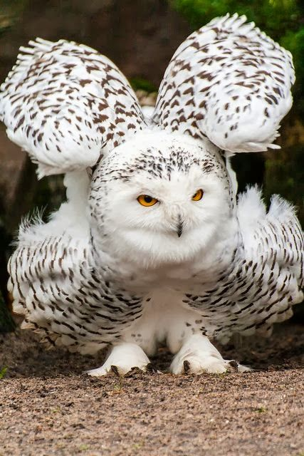 Snowy Owl...how beautiful is this?!
