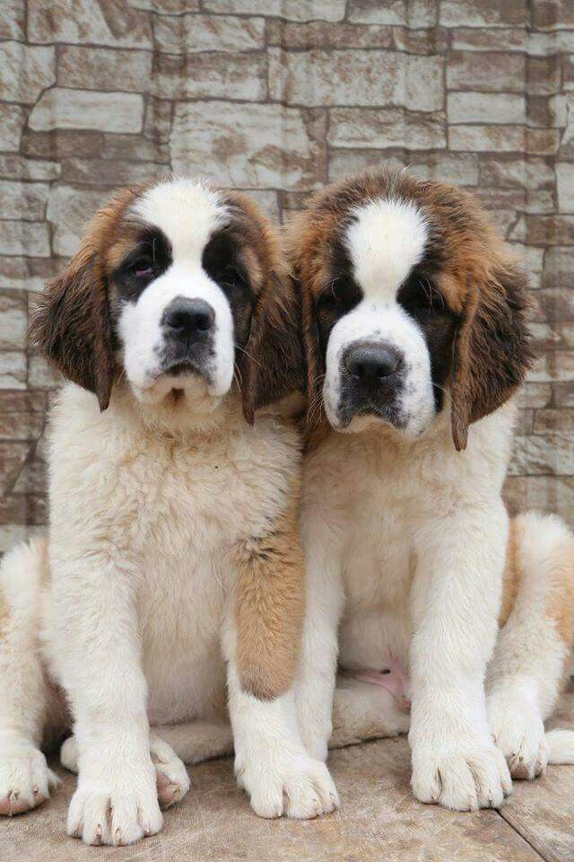 St Bernard Pups Just Too Cute Doggies St Bernard