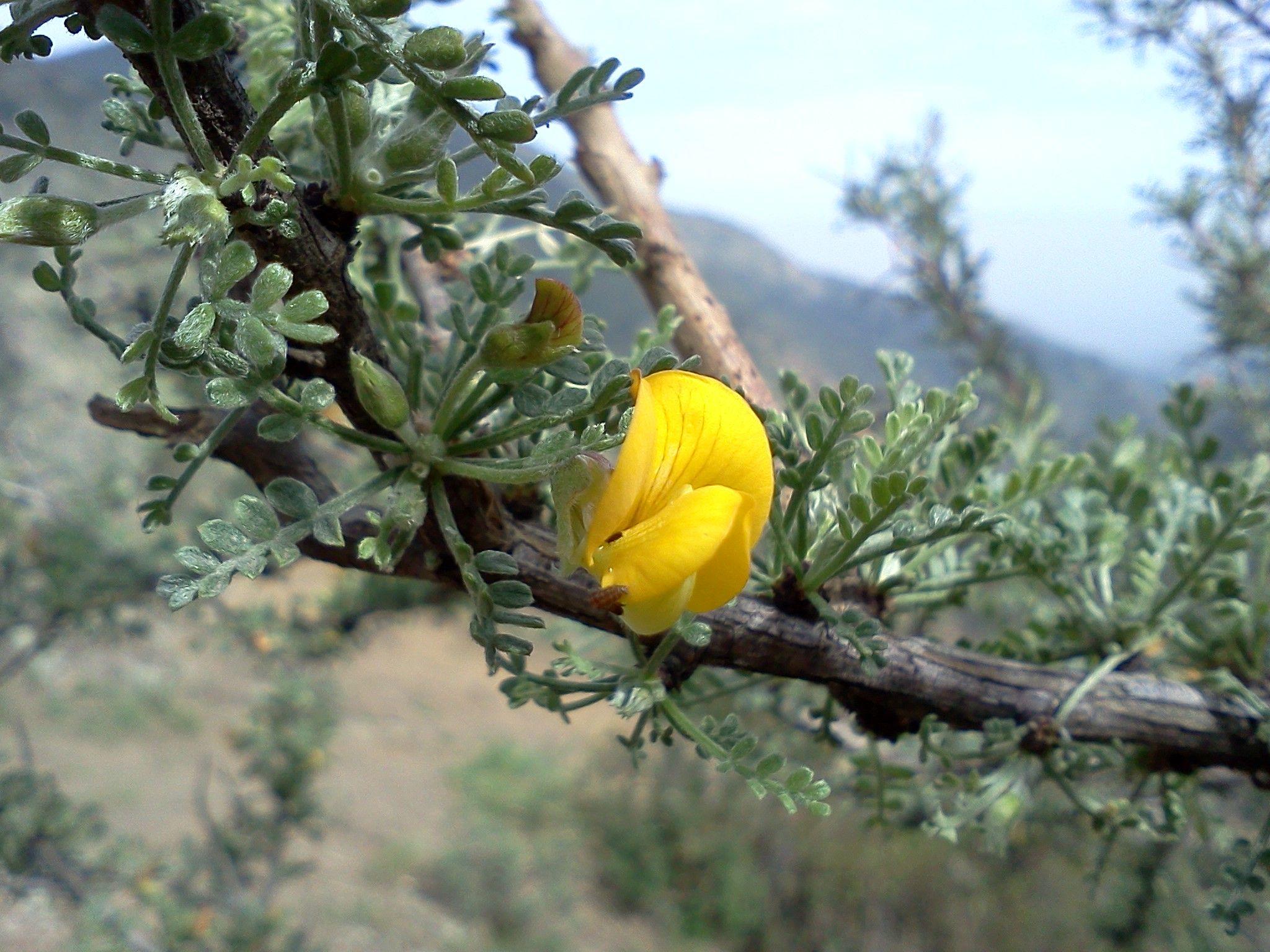 El retamo espinoso o espinillo ulex europaeus es un - Lista nombre arbustos ...