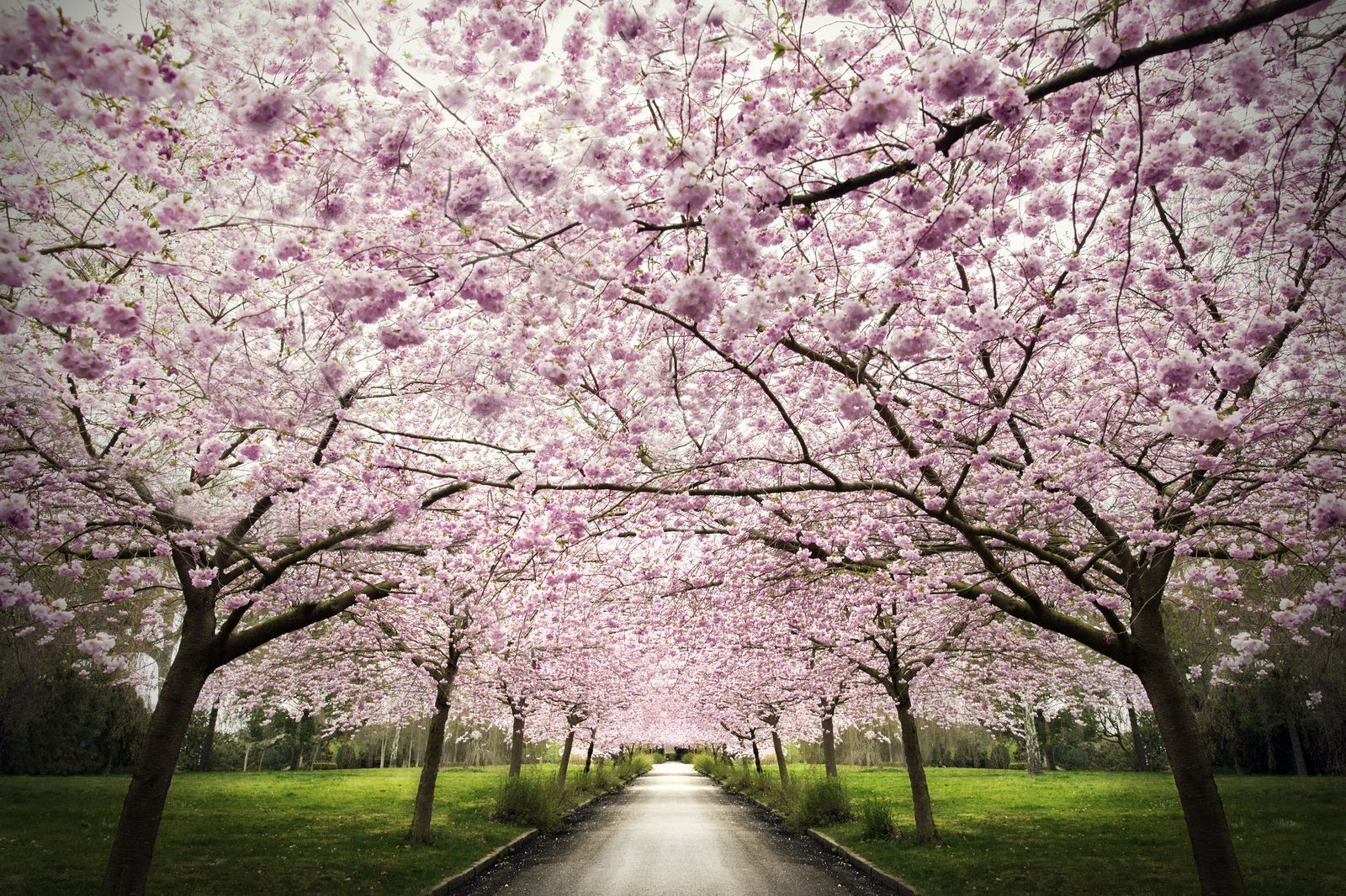 The Best Places To See Cherry Blossoms Around The World Flowering Trees Picture Tree Amazing Places On Earth