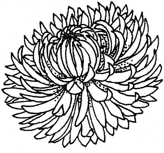 Chrysanthemum 4 Coloring Page Super Coloring Flower Coloring Pages Coloring Pages Flower Drawing