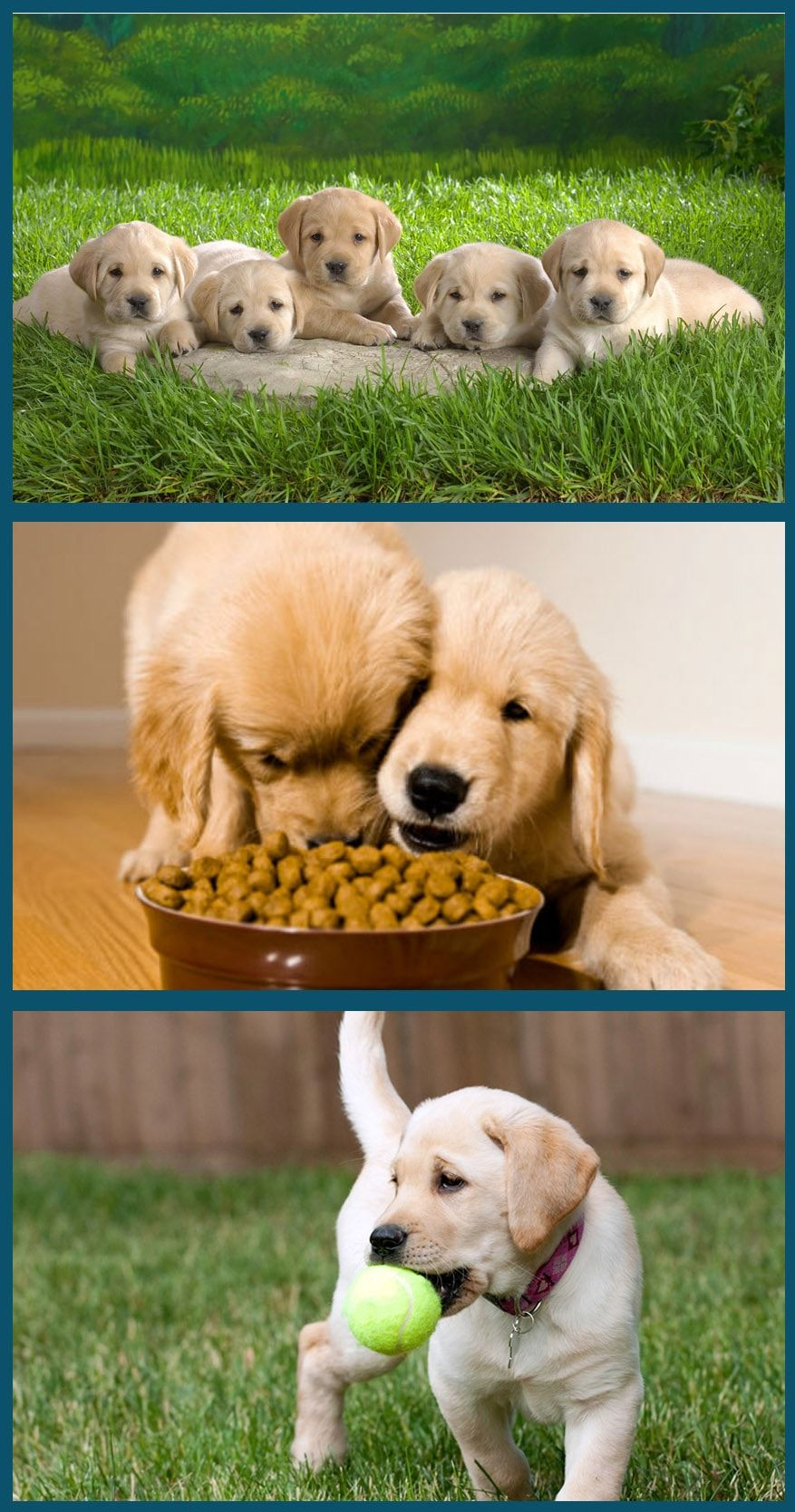 How To Raise A Golden Retriever Puppy With Some Very Useful Tips