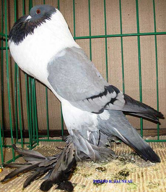 Boulant De Hanna Monde Avicole Animaux Oiseaux Pigeon
