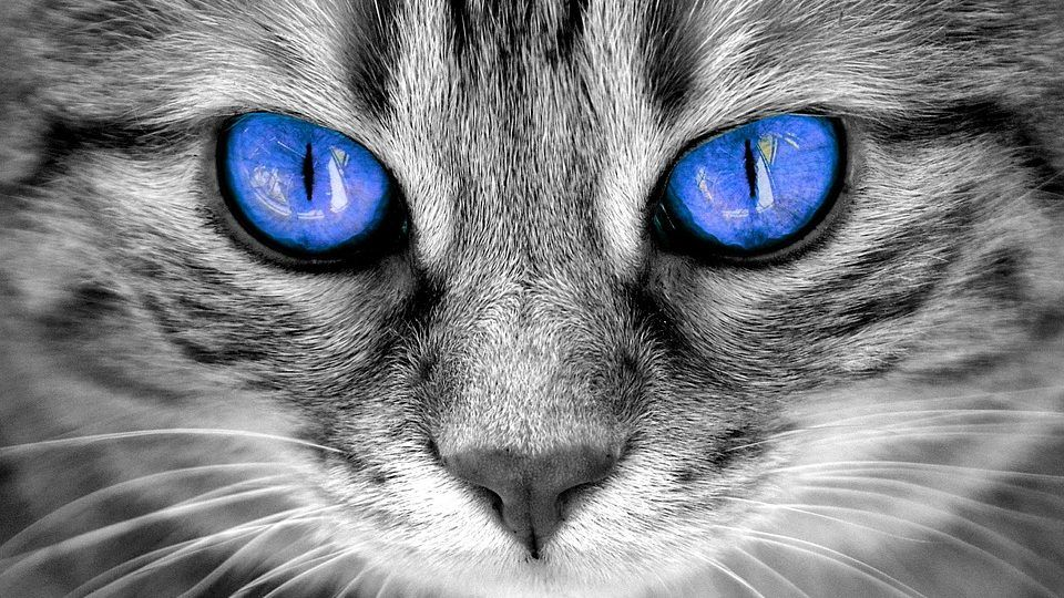 Beautiful blue cat eyes in 2020 Cat eye colors, Cat with