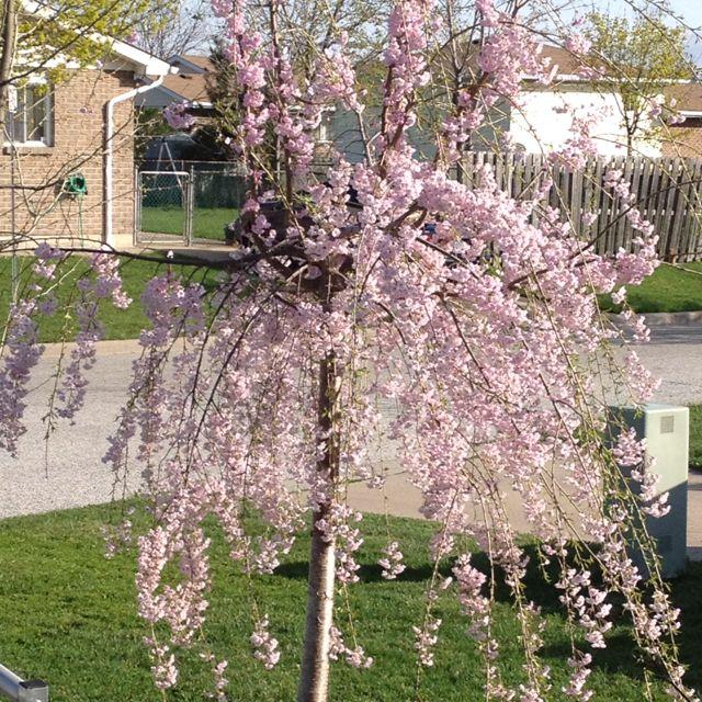 My Japanese Weeping Cherry Tree Blooming In March Weeping Cherry Tree Backyard Plan Cherry Tree