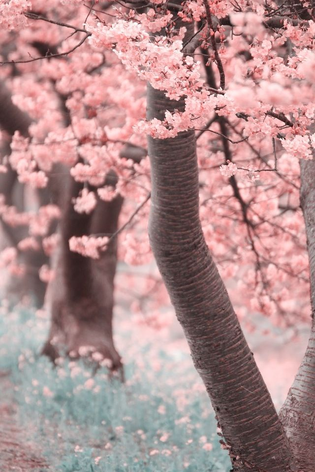 Cherry Trees Iphone Wallpaper Iphone 4 Background Wallpaper Blossom Trees Sakura Cherry Blossom Cherry Tree