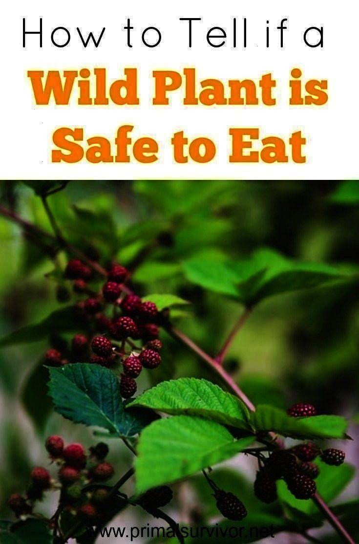 a Wild Plant is Safe to Eat -How to Tell if a Wild Plant is Safe to Eat -  Outdoor Emergency Waterp