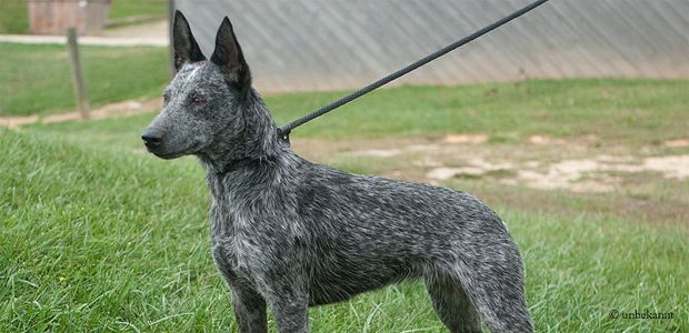 AUSTRALIAN STUMPY-TAIL CATTLE DOG/STUMPY-TAIL BLUE HEELER