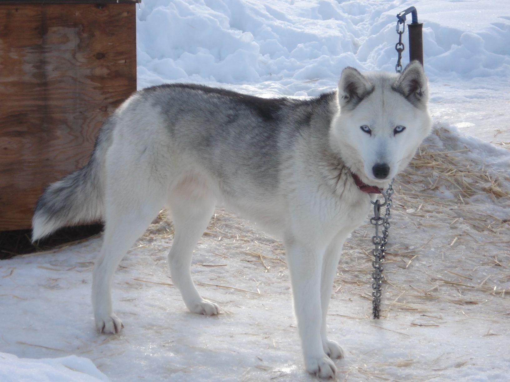 Seppala Siberian Sleddog Puppy Dog Dog Sledding Rare Dog Breeds