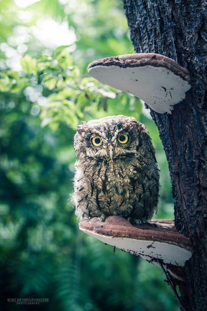 Western screech Owl | Western screech owl, Owl, Screech owl