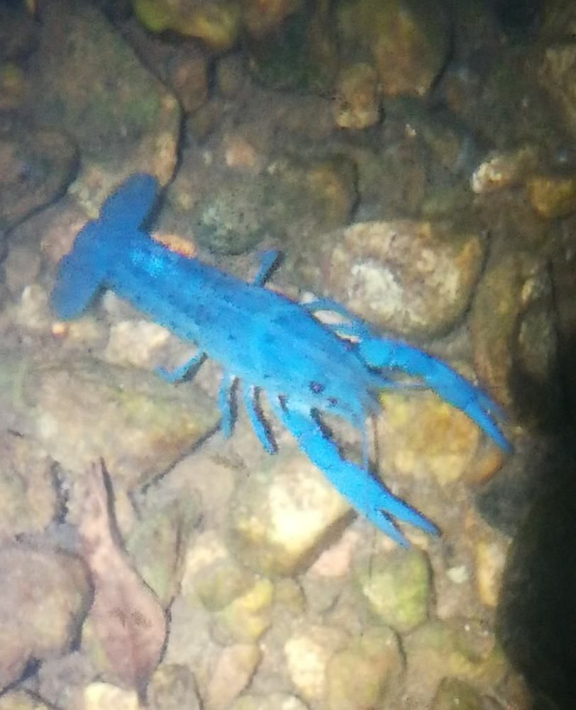 Female Electric Blue Crayfish live fish crawfish crawdad lobster