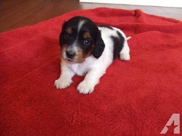 Miniature Dachshund Puppies For Sale In Ky Zoe Fans Blog Cute